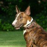 hundehaftpflicht-bullterrier